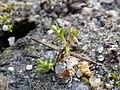 Tillaea aquatica sl1.jpg