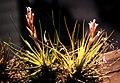 Tillandsia tenuifolia -pl 1.jpg