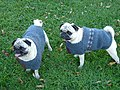 Tiny dogs in sweaters 2 (2912028711).jpg