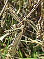 Tipula lateralis (Tipulidae sp.) female, Elst (Gld), the Netherlands.jpg