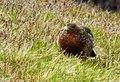 Tjäder Western Capercaillie (20163771419).jpg