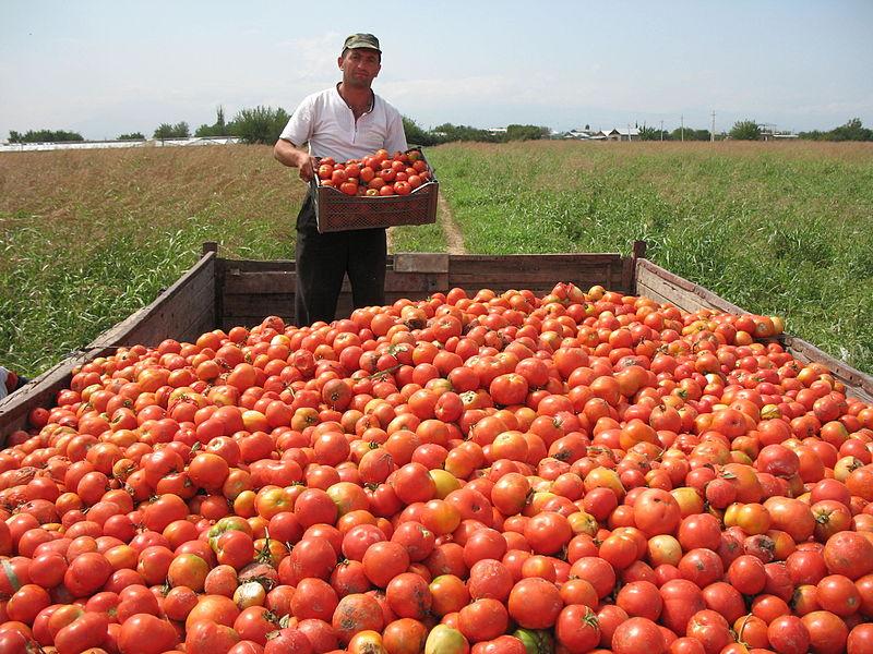 File:Tomato Harvesting in Armenia.JPG