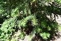 Torreya californica Crystal Cave 2.jpg