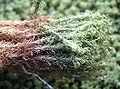 Tortella tortuosa 2006.06.27 13.17.05-p6270215.jpg