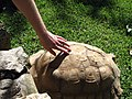 Tortoise getting a stroke - Lagos Zoo - The Algarve, Portugal (1735682211).jpg
