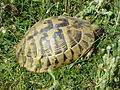 Tortoises in Krushevska Reka valley - P1100167.JPG