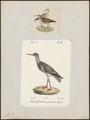 Totanus calidris - 1700-1880 - Print - Iconographia Zoologica - Special Collections University of Amsterdam - UBA01 IZ17400115.tif