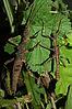 Trachyaretaon echinatus-pair.JPG