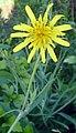 Tragopogon pratensis subsp. pratensis bgiu.jpg