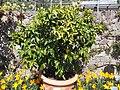 Trauttmansdorff gardens - Citrus x paradisi 02.JPG