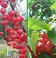 TraverseCity-MI-cherries.jpg