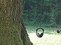 Tree listening, farnia secolare.jpg