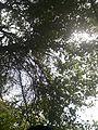 Tree seen from below.jpg