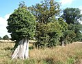 Trees at field edge, including stump topped with ivy - geograph.org.uk - 548956.jpg