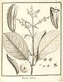 Trigonia villosa Aublet (1775) pl.149.jpg