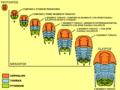 Trilobite ontogeny.png