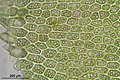 Tritomaria exsecta (a, 113252-471408) 7400.JPG