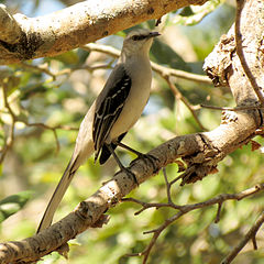 Tropical Mockingbird (16629855282).jpg