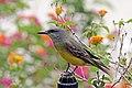 Tropical kingbird (Tyrannus melancholicus satrapa).jpg