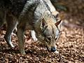 Tschechoslowakischer Wolfshund7.jpg