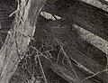 Turdus migratorius 1904.jpg