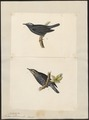 Turdus sibiricus - 1700-1880 - Print - Iconographia Zoologica - Special Collections University of Amsterdam - UBA01 IZ16300243.tif