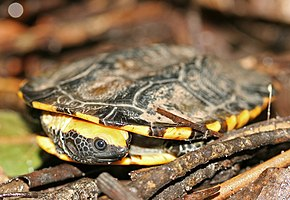 Description de l'image Twist-necked Turtle.jpg.