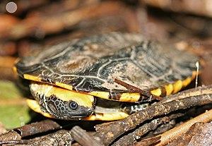 Twist-necked turtle - Image: Twist necked Turtle