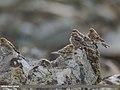 Twite (Carduelis flavirostris) (45391662405).jpg