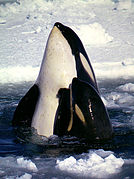 Type C Orcas.jpg