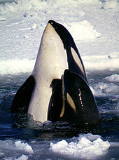Killer whale mother and calf extending their bodies above the water surface, from pectoral fins forward, with ice pack in background