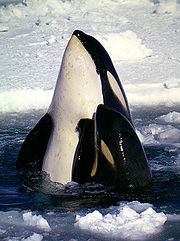 Orca Taxonomy And Evolution | RM.