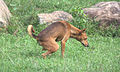 Urinating dog in grass Sri Lanka.jpg