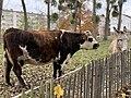Vache Âne Parc Croissant Vert Neuilly Marne 2.jpg