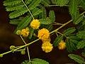 Vachellia nilotica old name Acacia nilotica.jpg