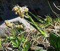 Valeriana celtica.jpg