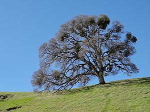 Quercus lobata - Valley Oak near Mount Diablo, with Mistletoe.