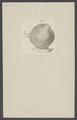 Venus - Print - Iconographia Zoologica - Special Collections University of Amsterdam - UBAINV0274 005 05 0072.tif