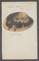 Venus litterata - - Print - Iconographia Zoologica - Special Collections University of Amsterdam - UBAINV0274 077 12 0034.tif