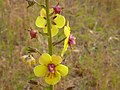 Verbascum blattaria (3741090761).jpg