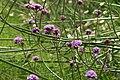 Verbena bonariensis747251000.jpg