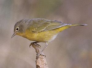 Nashville warbler - In Winema National Forest, Oregon