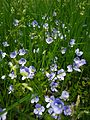 Veronica filiformis lawn.jpg