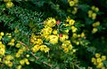 Verticordia helichrysantha.jpg