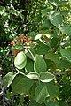 Viburnum lantana, Sambucaceae 03.jpg