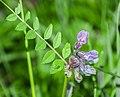 Vicia sepium in Aveyron 02.jpg