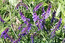 Vicia villosa - hairy vetch 0086.jpg