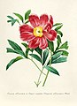 Vintage Flower illustration by Pierre-Joseph Redouté, digitally enhanced by rawpixel 101.jpg
