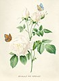 Vintage Flower illustration by Pierre-Joseph Redouté, digitally enhanced by rawpixel 41.jpg