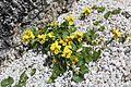 Viola crassa subsp. alpicola (Mount Tsubakuro).jpg